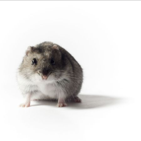 russian hamster: Crouching Hamster, Isolated on White  Stock Photo