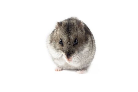 sidelight: Praying Hamster, Isolated on White