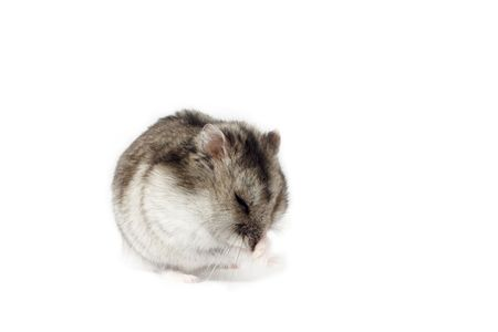 russian hamster: Moving Hamster, Isolated on White