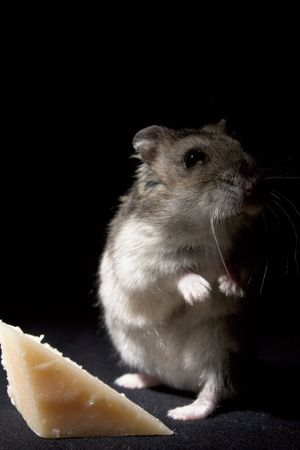 russian hamster: Hamster Standing by Cheese