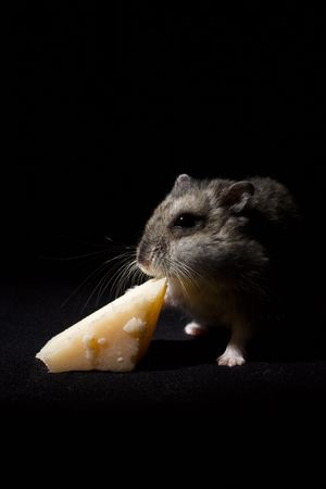russian hamster: Hamster Eating Cheese