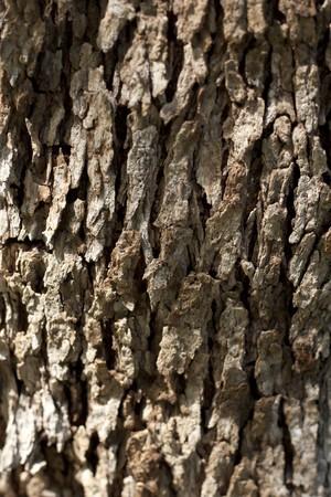 オリーブの木の樹皮 写真素材