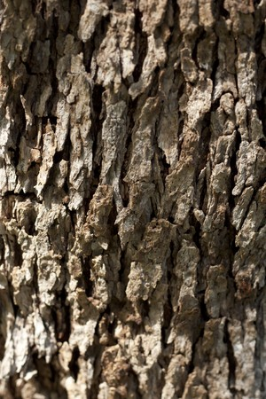 Olive Tree Bark 写真素材