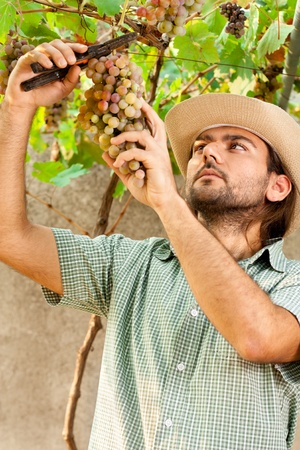 Farmer Cutting a Yellow Bunch of Grapes with Shears photo