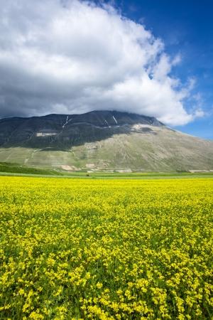 lentejas: Campo de flores amarillas en la Lentejas Castelluccio di Norcia, Umbría, Italia