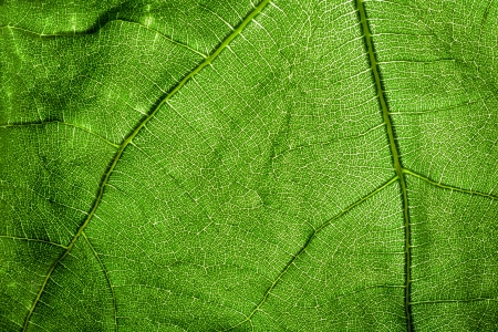 Extreme Close Up of a Fig Leaf Texture photo