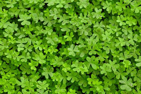 clovers: Green Clovers on a Field