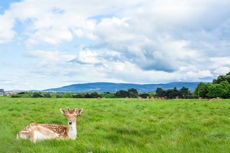 Bruine herten die op gras in Phoenix Park, Dublin leggen Stockfoto