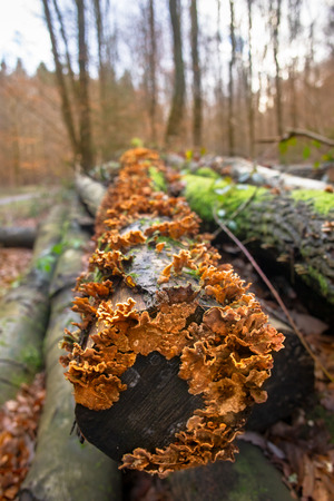 死んだ木の幹のオレンジトラメテス真菌の詳細 写真素材