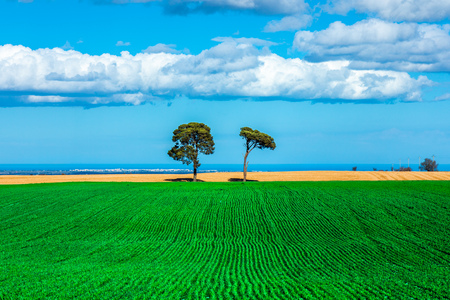 Two Trees on a Corn Field on Murge, Apulia, Italy