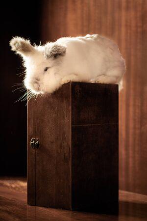 White Lionhead Rabbit on a Wooden Box