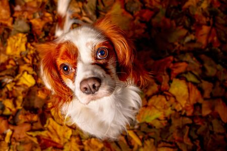 Portrait of a Cavalier King Sitting on Dry Leaves 写真素材 - 135099217