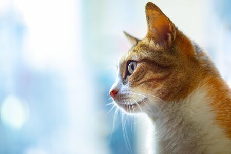 Orange Cat Profile with Window Background 写真素材 - 134982010