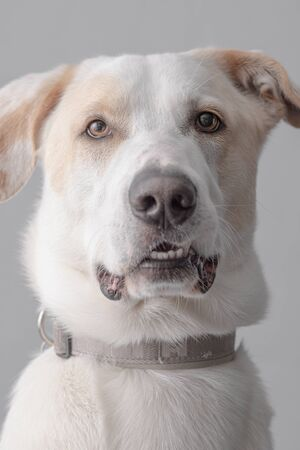 Portrait of a White Dog on Gray Background