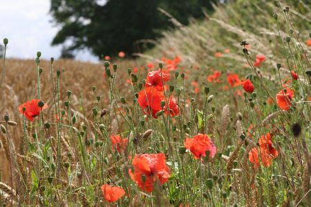 A patch of wild poppies in an English field photo
