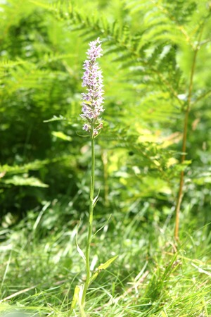 A rare wild orchid flowers deep in the Sussex woodland Stock Photo