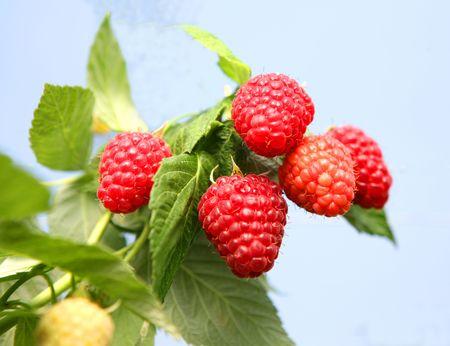 English raspberries growing in the summer sunshine