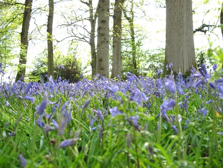 Bluebells blooming in the spring