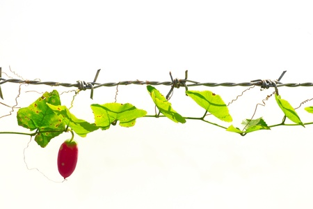 Gourd thousands of barbed wire. On a white background. Stock Photo - 12004249
