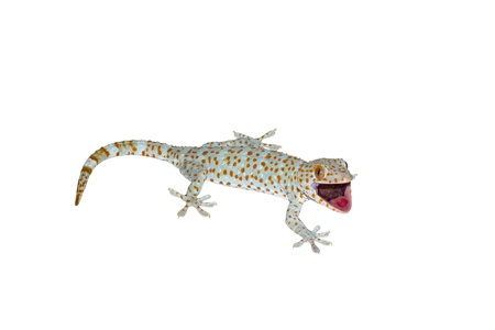 gecko reptile lizard against a white background.