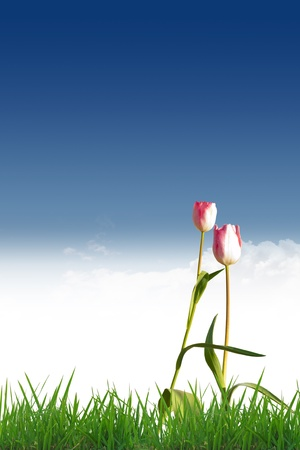 Tulips on green grass. The background is the sky.