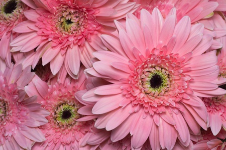 beautiful Pink Gerbera petals close up  Stock Photo - 12648382