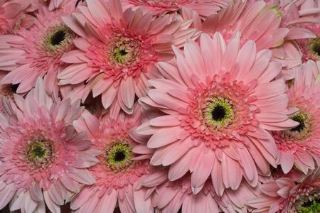 beautiful Pink Gerbera petals close up  photo