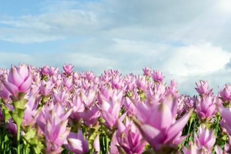 siam tulip flower. Stock Photo - 16587568