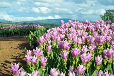 siam tulip flower.