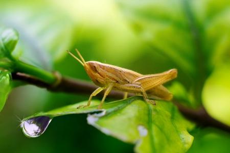 Closeup Grasshopper on green leaf
