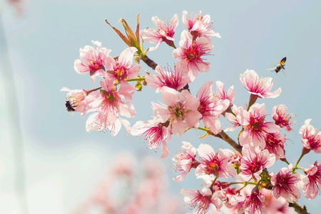 Cheery blossoms Stock Photo