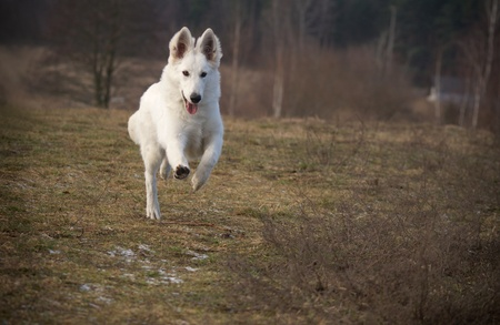 dog running:  running Berger Blanc Suisse (synonym of White Shepherd Dog)