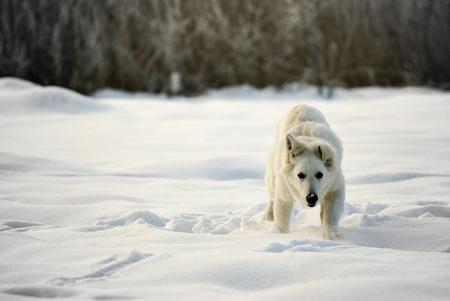 white shepherd dog:  in esecuzione Berger Blanc Suisse (sinonimo di cane da pastore bianco) in mezzo alla neve.