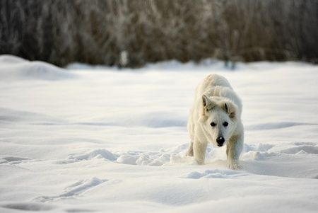 berger:  running Berger Blanc Suisse (synonym of White Shepherd Dog) in the snow.