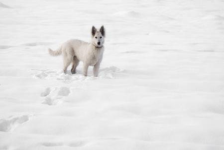 white shepherd dog: Cane da pastore bianco