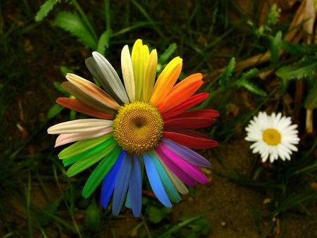 colofrul: Colofrul daisy