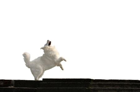 caucasian shepherd: Happy caucasian shepherd dog