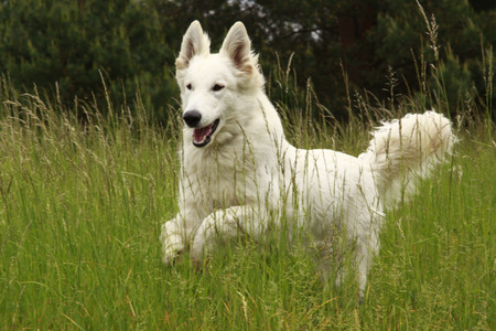 shephard: Jumping happy dog into the grass Stock Photo