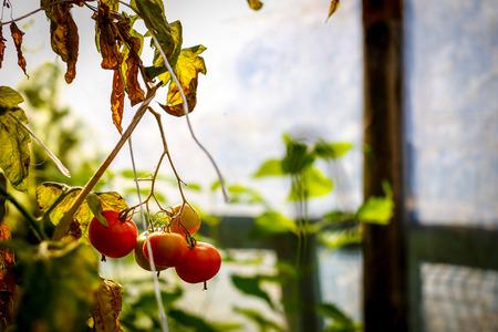 Natural tomatoe close up macro