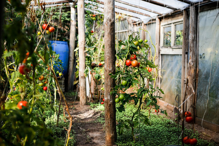 glasshouse: Tomatoes trees in glasshouse