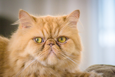 persian cat in front of a white background