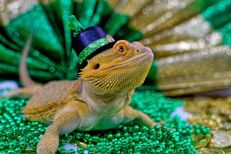Bearded Dragon in a hat celebrating Celebrating St. Patrick's day on beads and gold coins Stock Photo