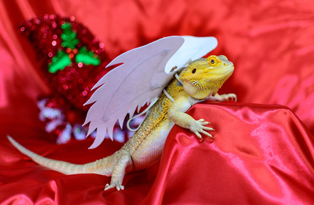 Bearded Dragon with angel wings on red background posing Stock fotó