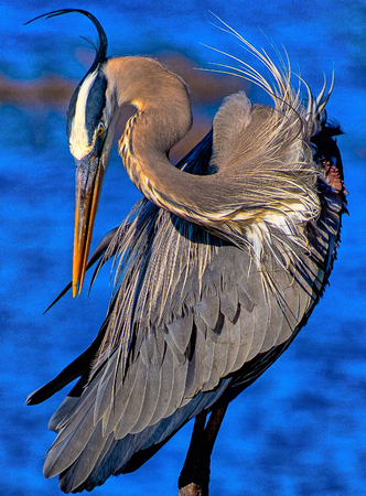 Blue Heron preening feathers at Circle B Reserve Stock Photo