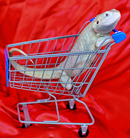 Zero bearded dragon in shopping cart with red satin background