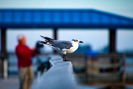 Sea Gull On Pier in Safety Harbor Stock Photo