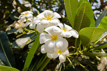 asterids: flower of plumeria