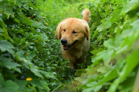 Golden Retriever Puppy walking outdoor on the grass