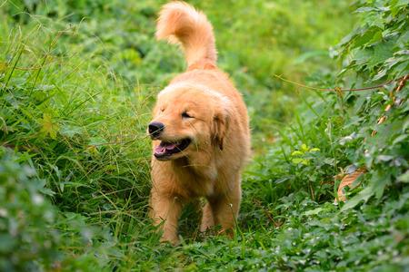 investigates: Golden Retriever Puppy walking outdoor on the grass