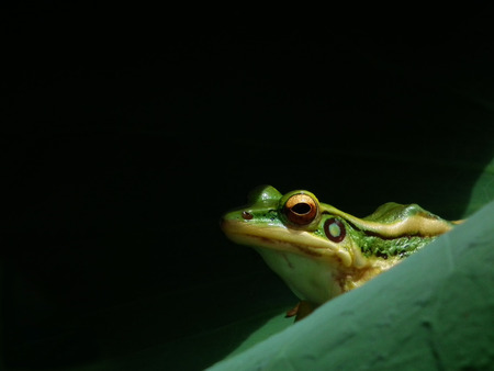 greenfrog photo